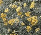 Helichrysum ii